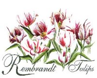 447 Rembrandt Tulips